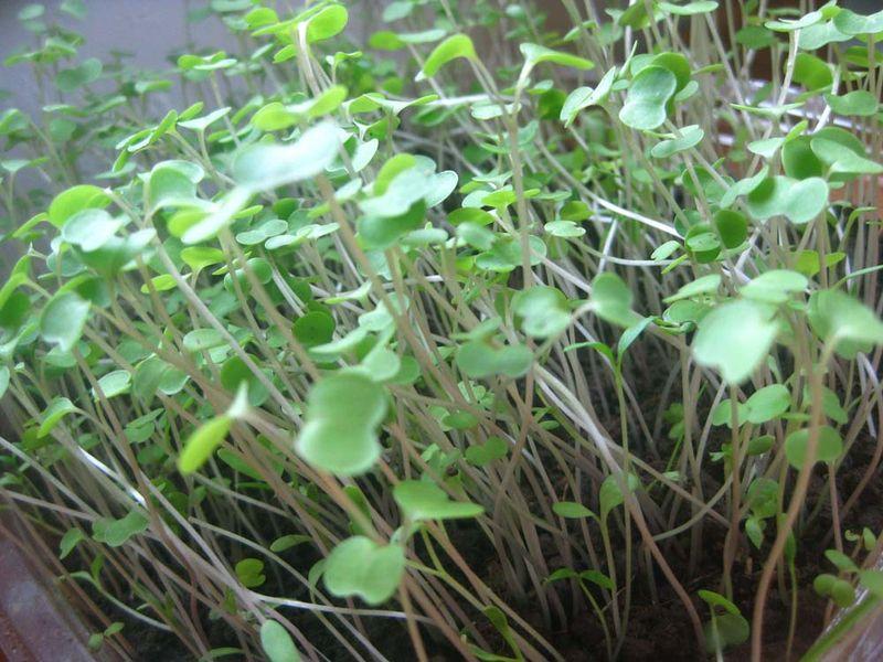Microgreens 2